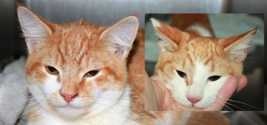 collage picture of Rowdy and Rumble, two orange tabby kittens